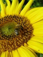 bee collects nectar on a yellow sunflower