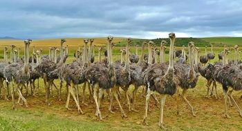a large flock of ostriches on a plain