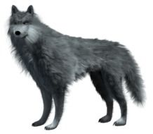 drawn gray wolf on a white background