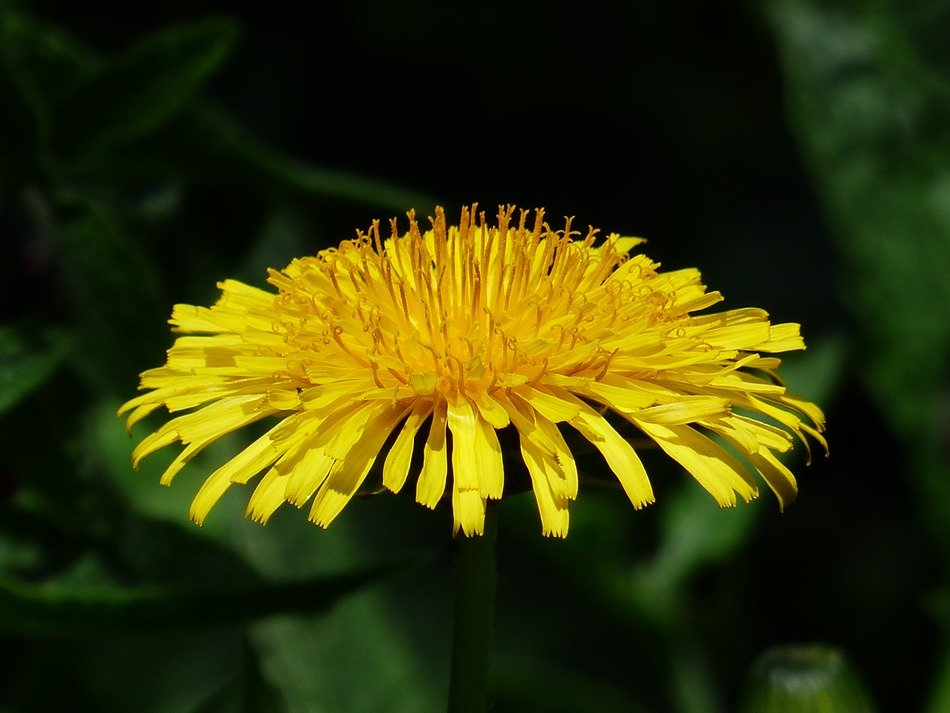 bright yellow dandelion close-up on a blurred background