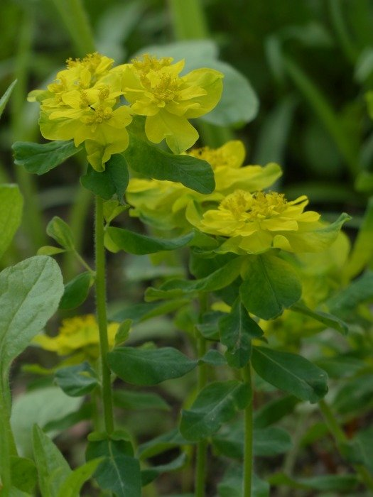 yellow color multi coloured spurge blossom