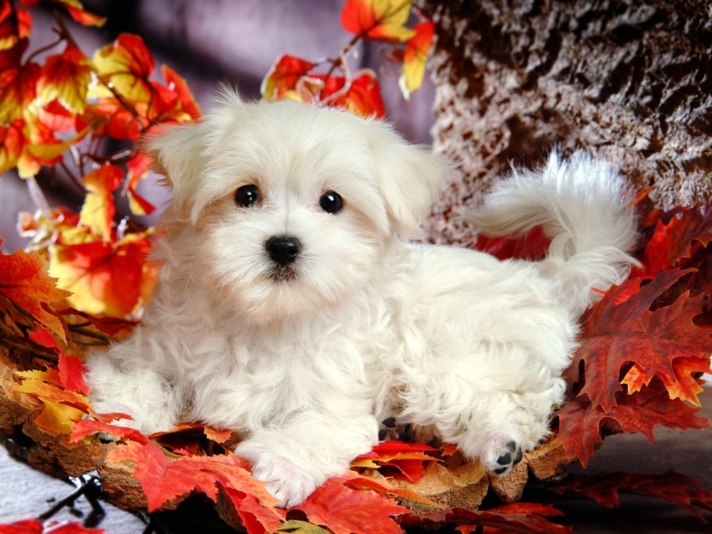 Cute White Fluffy Puppies Drawing Free Image