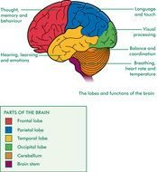 clipart of the Brain Diagram