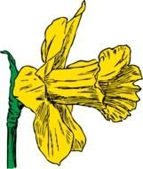 drawn daffodil flower