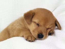 Cute Puppi Sleeping as picture for clipart