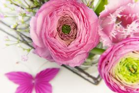 pink fluffy Ranunculus Blossoms close up