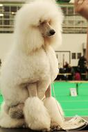 Large Poodle White Dog