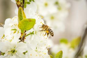 Bee Honey and white Blossom