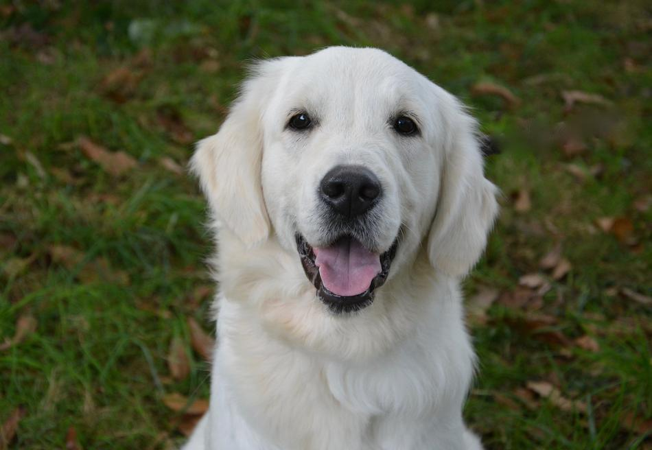 Dog Golden Retriever white
