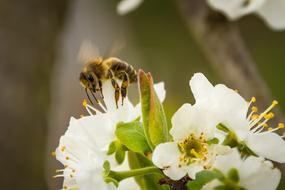 Bee Honey and white cherry Blossom