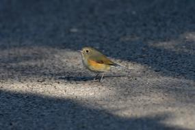 red-flanked bluetail, tiny robin on ground