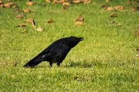 black raven stands on an autumn lawn