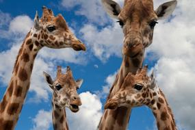 Giraffes Family and sky