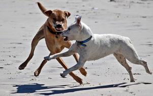 two Dogs Play on Beach