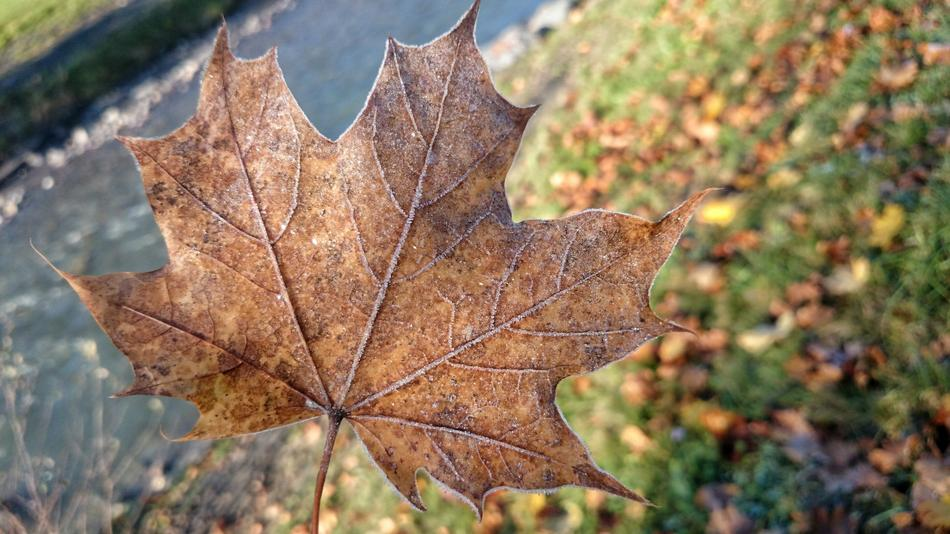 Late Autumn Maple Leaf dry