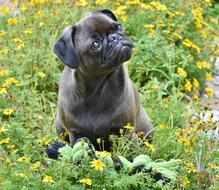 photo of a cute pug on a green meadow