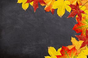 bright maple leaves on a background of a school blackboard