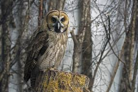 Great Grey Owl forest