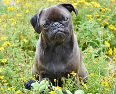 Pug Dog cute and flowers