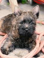 Puppy Cairn Terrier dog