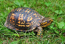brown and yellow Turtle crawling on grass