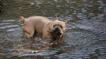 French Bulldog with branch in teeth stands in water