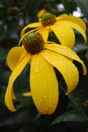 raindrops on large yellow flowers