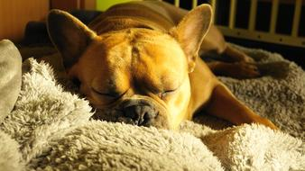 french bulldog sleeping on a soft blanket