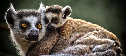 lemur mother and child