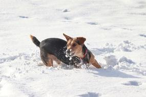 little dog frolicking in snow