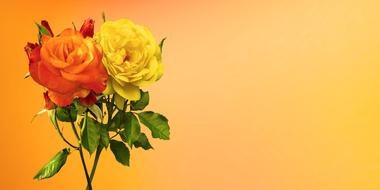 orange and yellow roses on a bright card