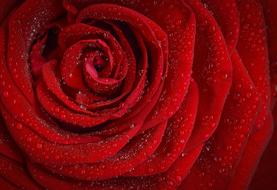 Red Rose with dew drops, macro, detail
