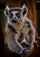 lemur with round yellow eyes