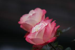 Beautiful rose flowers with the white and pink petals
