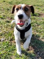 charming playful jack russell puppy