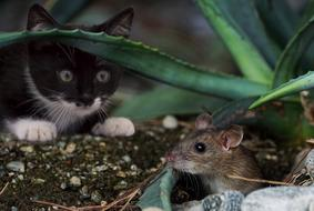 kitten is watching a rodent