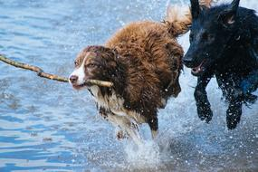 dogs play with a stick on the shore of a pond