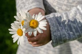 Daisies in child girl hands