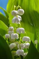 macro photo of a blooming lily of the valley