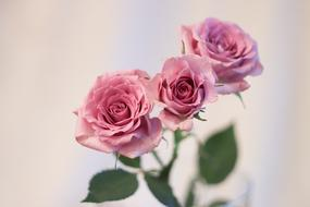 photo of three delicate roses