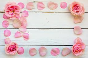 rose buds and petals on a wooden bench