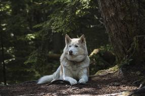 white husky dog in the forest