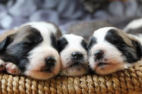 three black and white puppies in a basket
