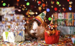 Guinea Pig Happy Birthday