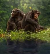 amazingly beautiful Chimp Brown Bonobo