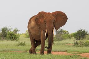 giant male african Elephant in wild, kenya