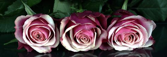 three romantic roses on a glass table