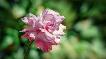 beautiful curly pink rose