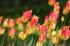 photo of yellow-pink tulips on the field