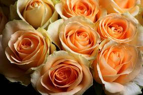 macro photo of a bouquet of orange roses